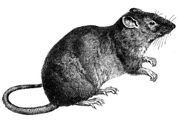 la queue sort peut-être  de ma bouche mais j'affirme : non je n'ai pas mangé le rat !